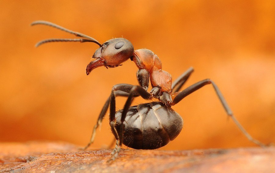 cannibal ants